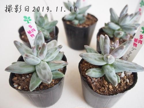 多肉植物 グラウクム(パキフィツム属)いとうぐりーん 産直苗 2号