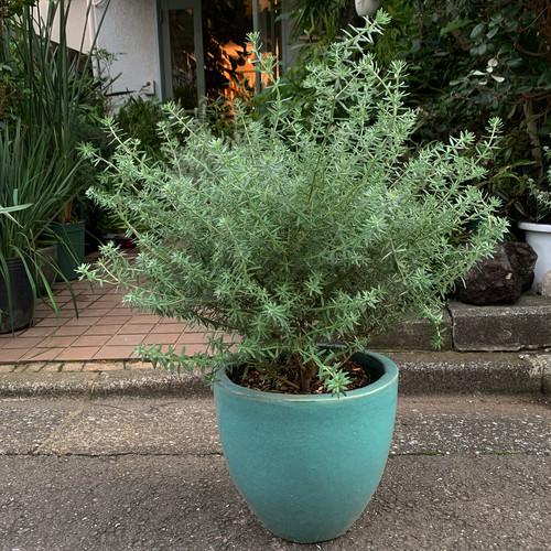 ウェストリンギア 白花 ターコイズグリーン鉢