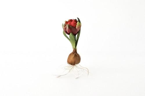 染め花 Horry 球根付きの原種のチューリップ(赤×緑)