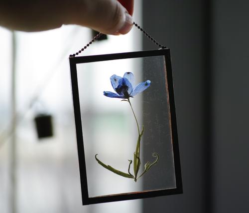 植物絵画:ドライフラワー/押し花『デルフィニウム』
