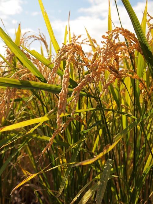 鈴木さんの減農薬米20㎏