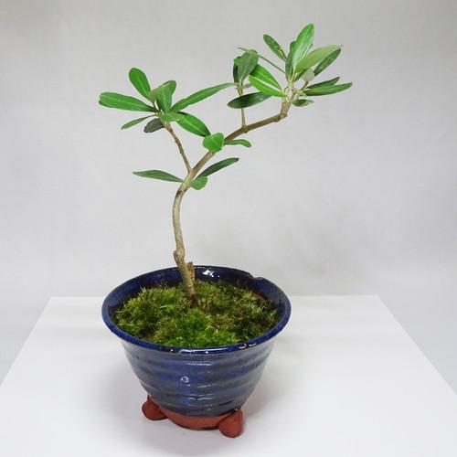 オリーブの盆栽『シプレッシーノ』(アウトレット)No.16006A