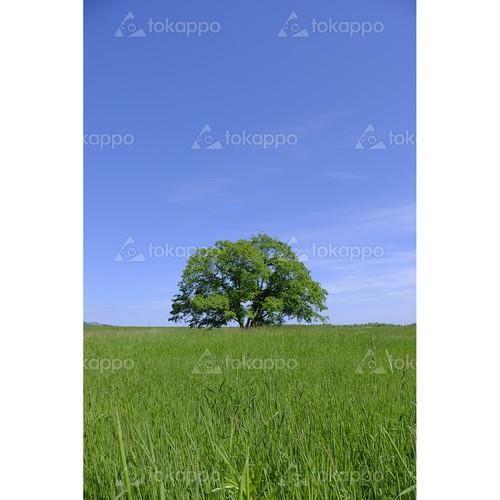 夏のハルニレの木