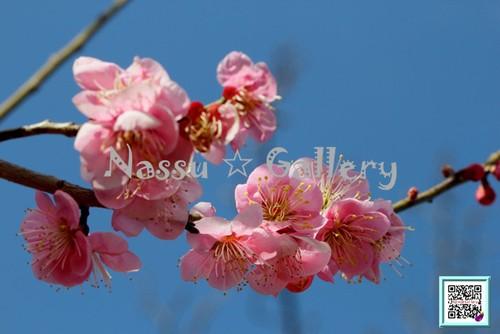 青葉の梅林2~Plum grove~⑦