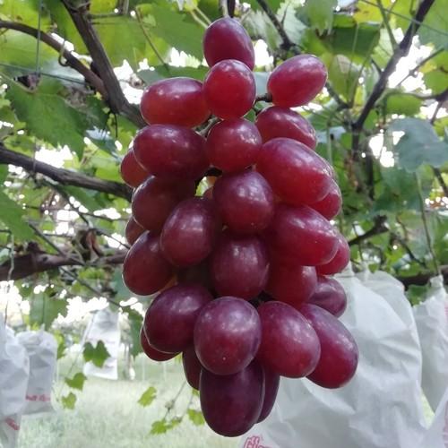 晩秋の恵「紫苑」 (しえん)2㎏ 4~5房