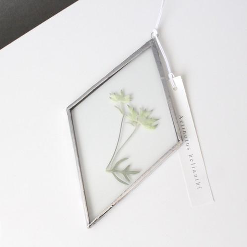 フランネルフラワー / A piece of nature 菱形 大