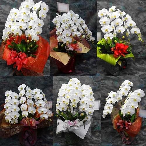 胡蝶蘭の鉢植 3本立 15,000円