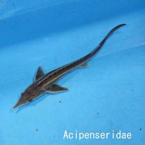 大型特殊魚|ドイツ便入荷|【写真魚のお届け】シップスタージョン MLサイズ|チョウザメ|