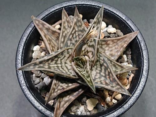 Aloe descoingsii × A.variegata  アロエ  ディスコイングシー × 千代田錦