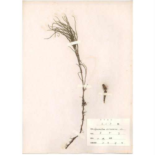 日本の古い植物標本 029