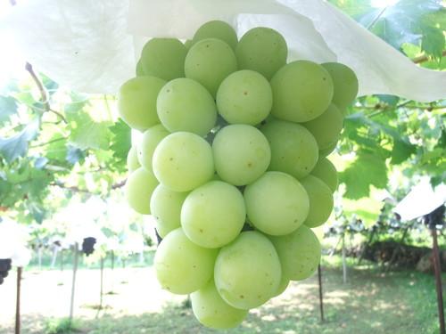 南アルプス南湖産ぶどうシャインマスカット約1.8kg(発送9月)