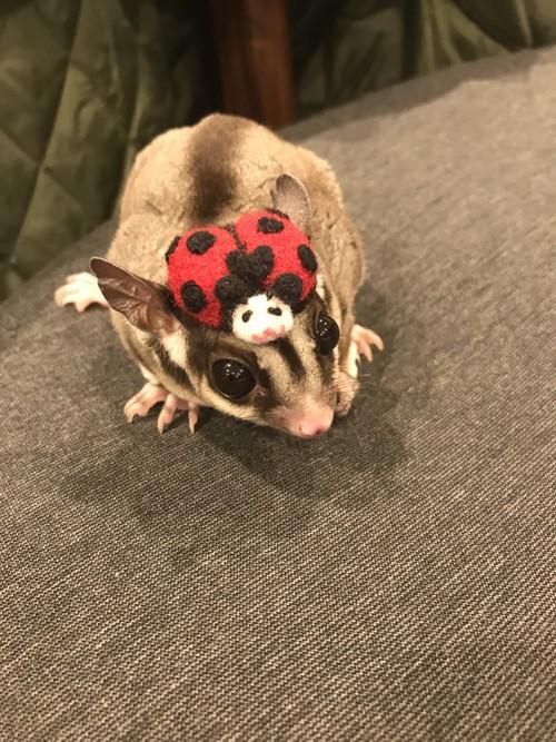 ナナホシてんとう虫さんの帽子