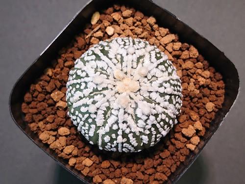 Astrophytum asterias 'Super-Kabuto' アストロフィツム スーパー兜