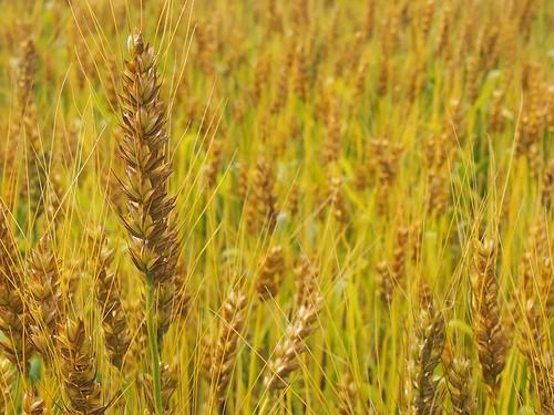 阿波の小麦(中力粉)自然農ミナミノカオリ*1kg