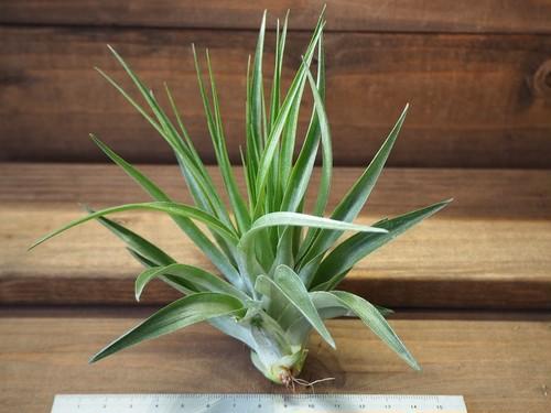 チランジア / ゲミニフローラ (T.geminiflora)