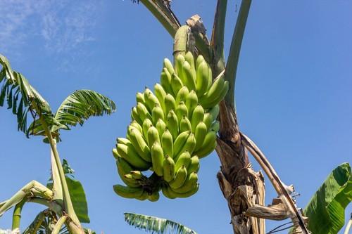 島バナナ【5kg】(税込・送料別)