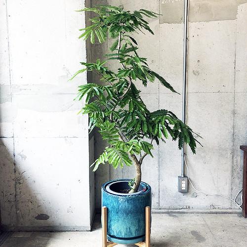 【観葉植物】エバーフレッシュ(店舗直接配送商品・全国配送不可)