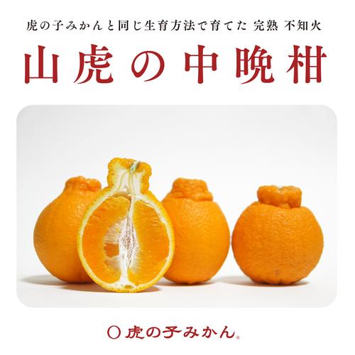 【2019年4月上旬出荷】山虎の中晩柑:3kg