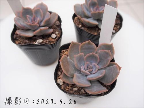 多肉植物 ピオリス(エケベリア属)いとうぐりーん 産直苗 2号