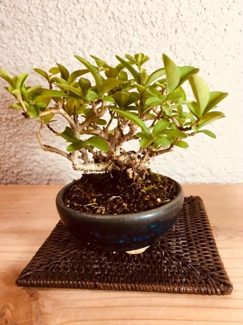 イボタ盆栽