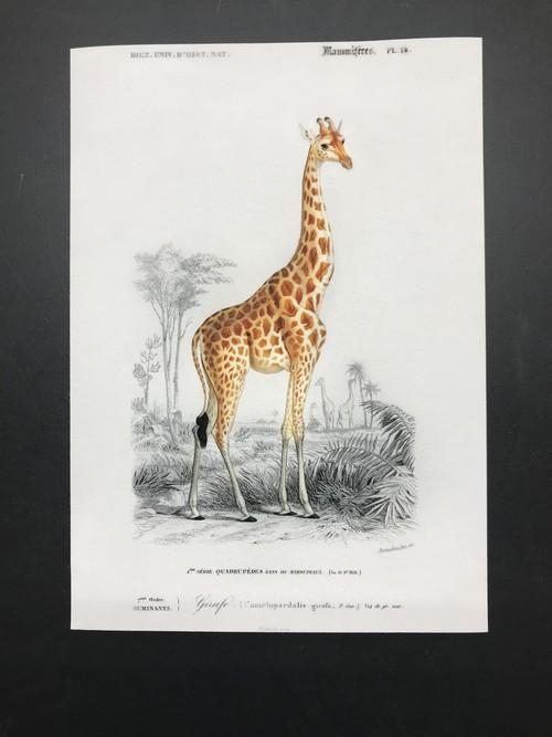 ビンテージプリント 動物コレクション キリン