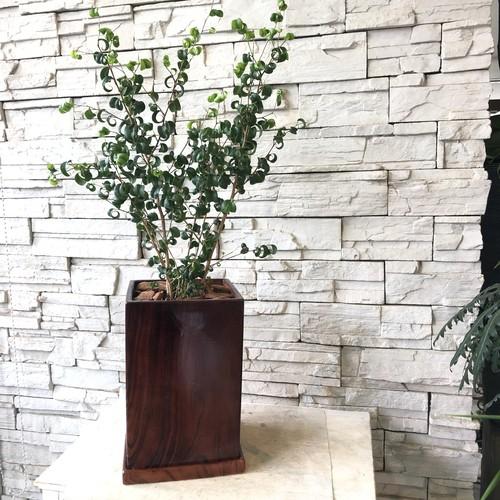 【観葉植物】ベンジャミンバロック 木目調陶器鉢植え