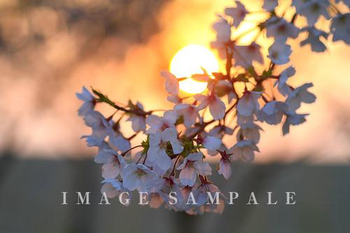 桜の咲く風景