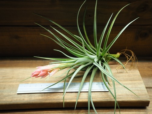 チランジア / レクルヴィフォリア Hyb (T.recurvifolia Hybrid) ※花芽付き