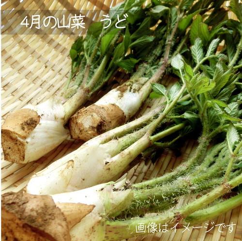 5月の朝採り直売野菜 ウド 山菜 5月4日発送予定