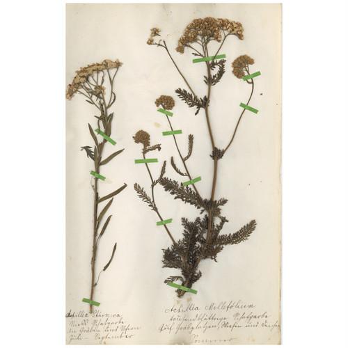 ドイツの古い植物標本 102