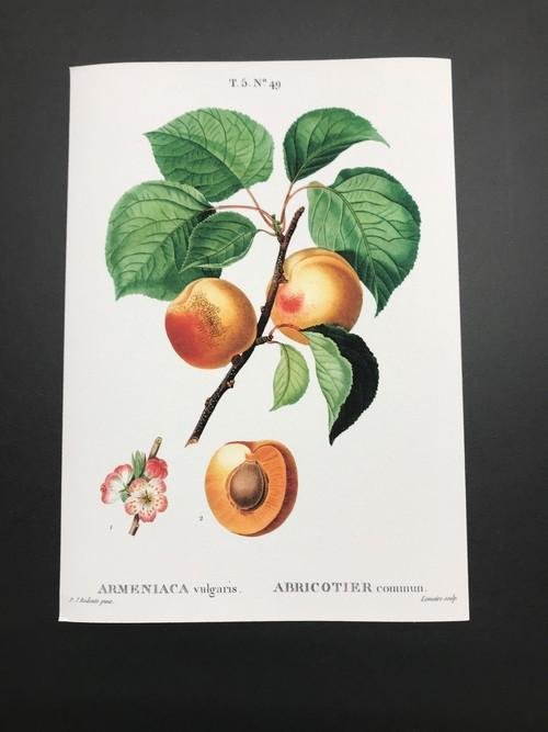 ボタニカルイラストレーション/アプリコット/レプリカ