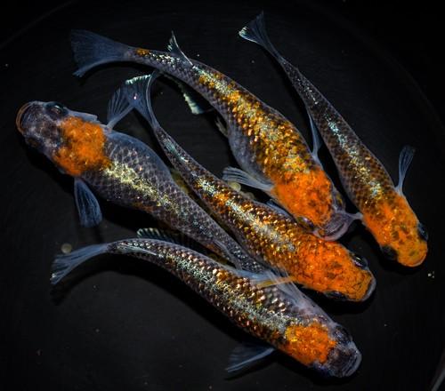 *伊香保FF BASE限定* オーロラ黄ラメ体外光 稚魚(2021年産まれ)稚魚 20匹  ikahoff V-0321-7940-c