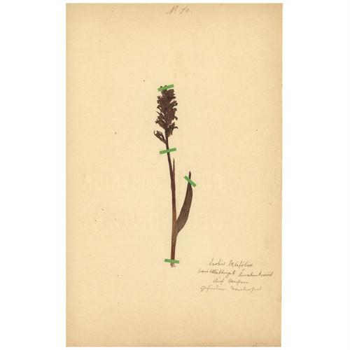 ドイツの古い植物標本 053