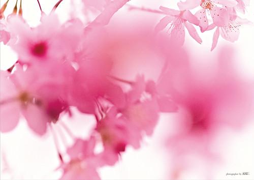 オリジナルパネル(陽明山の桜)