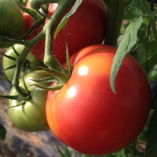 TOMATO  自然栽培で育てた完熟トマト_約3キロ_バジルおまけ