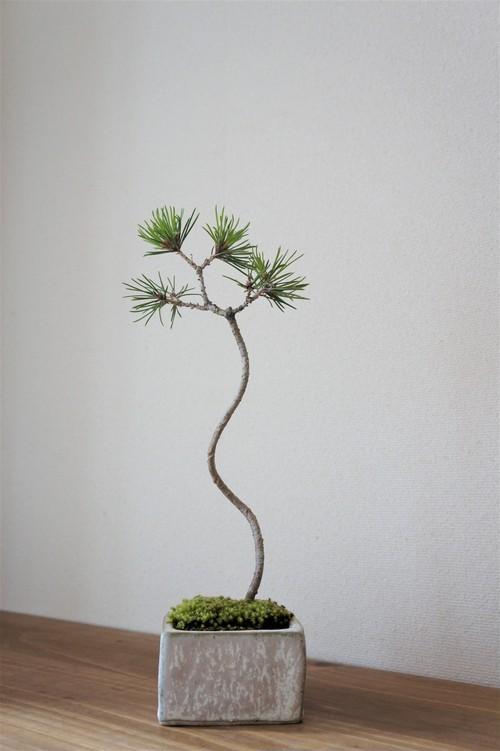 盆栽 黒松