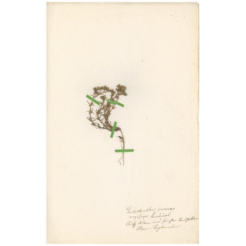 ドイツの古い植物標本 071