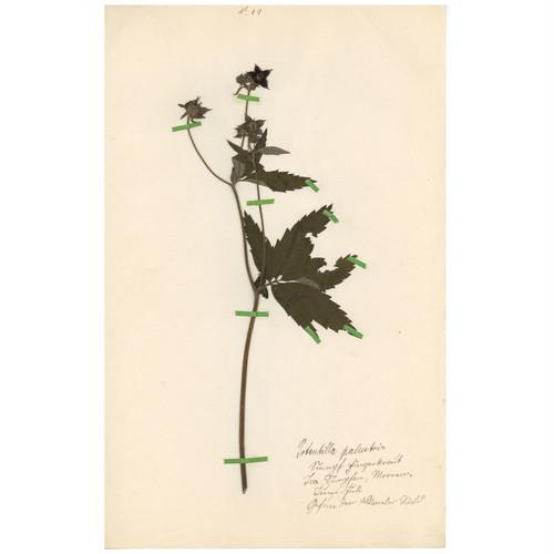 ドイツの古い植物標本 111