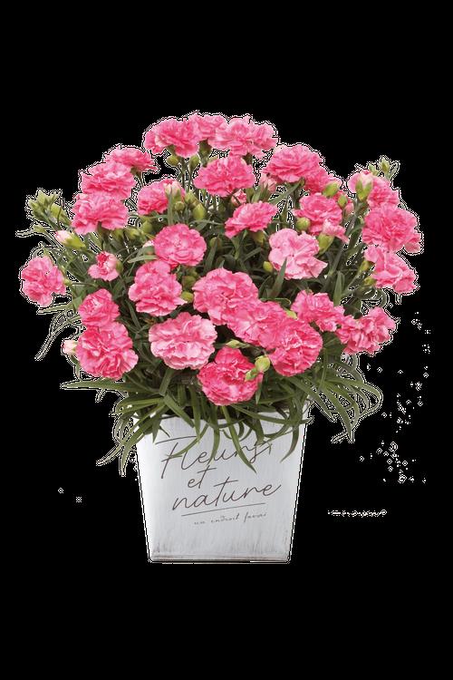 【母の日フラワーギフト・プレゼント】カーネーション鉢(ピンク)