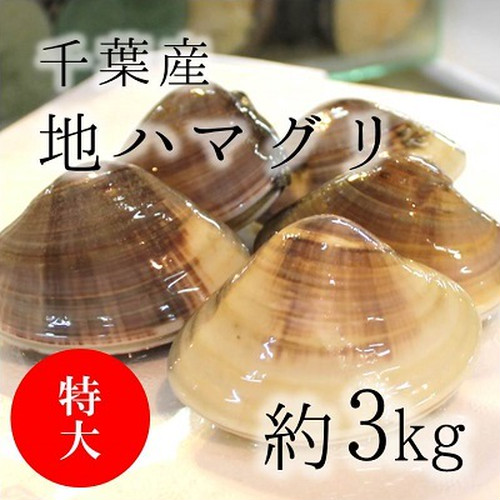 天然 地はまぐり 生(活け)特大サイズ(約100-120g/個)約3kg 千葉産 【地ハマ1K】 冷蔵 地ハマグリ 地蛤