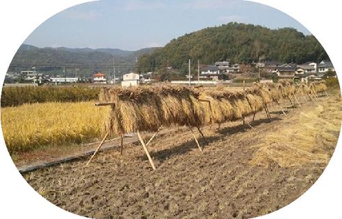 無農薬・天日干し米 にこまる 玄米5kg