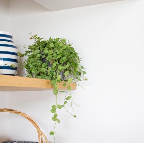 [植物+鉢set]ウォーターメロン(ディスキディア)セメント鉢植え 3.5号