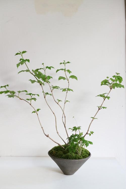 肝木/八重三輪草