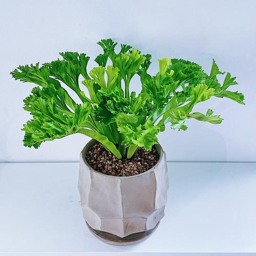 アスプレニウム・レズリー Asplenium nidus 'Leslie'