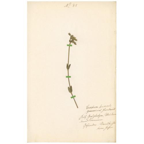 ドイツの古い植物標本 091