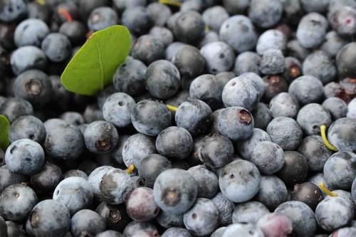 自然栽培ブルーベリー Lサイズ