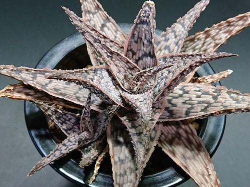Aloe rauhii 'Super Snow Flake' アロエ ラウヒー スーパースノーフレーク