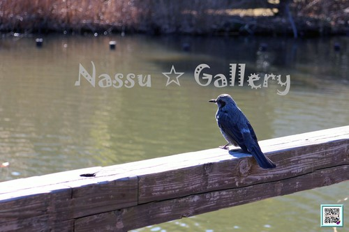 水辺でのんびりカワセミ~Leisurely kingfisher in waterside~②