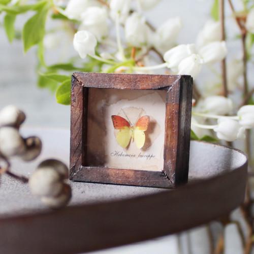蝶のミニチュア標本箱_ヒイロツマベニチョウ【胡蝶の夢】