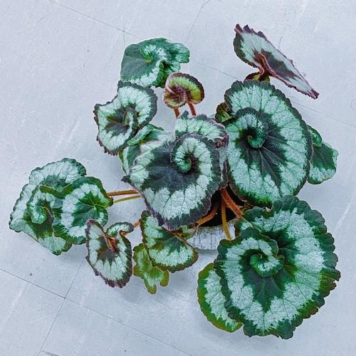 レックスベゴニア ・エスカルゴ Begonia rex escargot